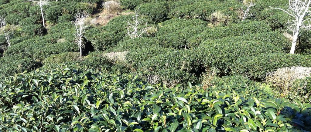 Tea bushes at Shanlinxi mountain in Taiwan