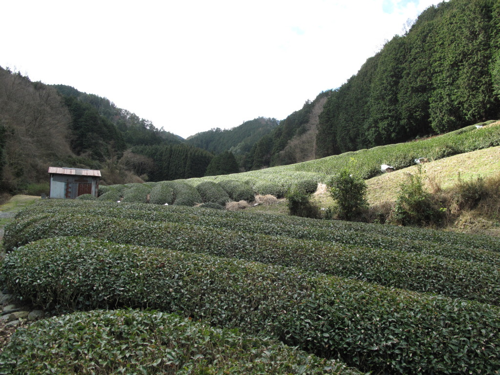 Tea bushes at Uji in Japan