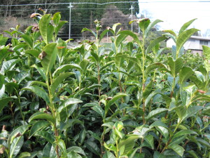 Tea plant with long stems